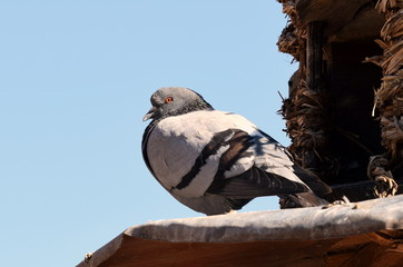 Dove in front of pigeon loft - close-up