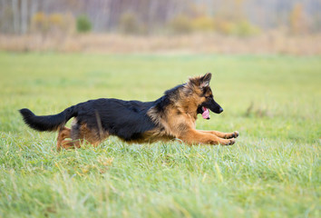 Papier Peint - German shepherd dog long-haired jumping outdoor