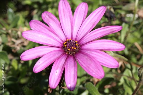 Flores 16 Flor De Pétalos Morados Stock Photo And Royalty Free