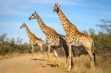 Giraffe - Kruger park - Sudafrica