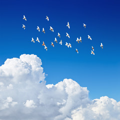 Fototapete - flock of pigeons flying in blue sky among the clouds