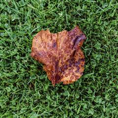Brown dry leaf