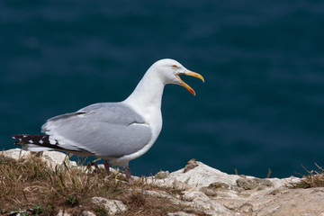 yellow-legged gull , Larus michahellis, on the rocks