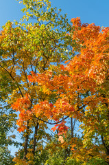 red, yellow and green maple leaves with blue sky