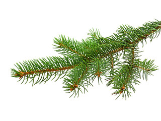 Branch of Christmas tree