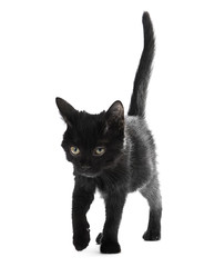 Black kitten isolated on white background.