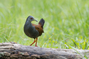 The black-tailed crake (Amaurornis bicolor) is a species of bird in the Rallidae family. It is found in Bhutan, China, India, Laos, Myanmar, Nepal, Thailand, and Vietnam.