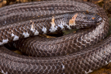 Pipe snake (Cylindophis rufus)