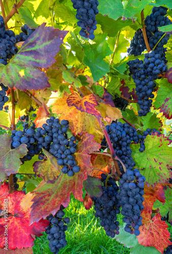 Bilder Blaue Weintrauben ~ Blaue Weintrauben am herbstlichen Weinstock  Stockfotos und