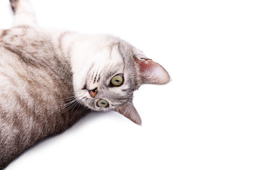 gray tabby cat lying