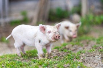Piglets on spring green grass on a farm