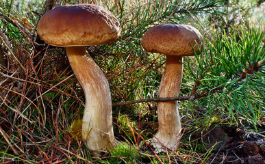Two mushroom boletus