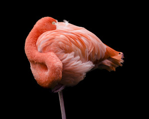 flamingo curled into a ball taking a nap