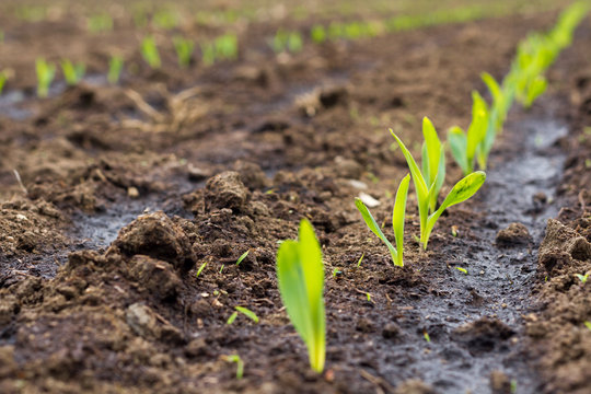 Sprouting maize/corn on field. Corn is used for powering biogas plants across Europe and creating green energy