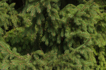 The spruce branches close-up. Spruce needle. Conifer tree. Nature desktop wallpaper