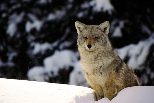 A winter wolf in the blowing snow sits atop a snow bank watching for prey.