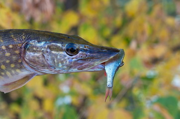 pike with a small fish in the mouth