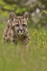 Puma, Cougar