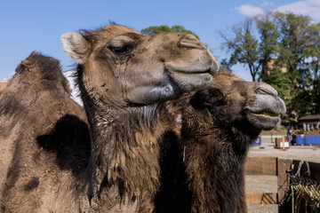 Portrait of two camels