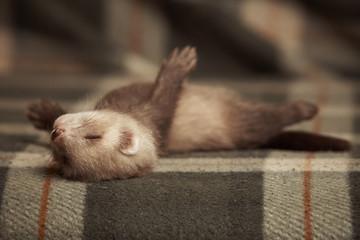 Poses of sleeping ferret