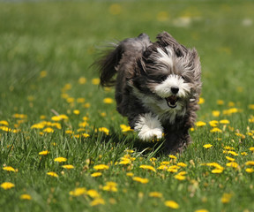 A small furry black and white dog is running through a grass meadow of yellow dandelion flowers.