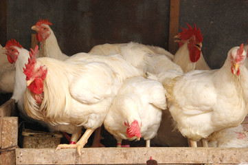 White chicken hens photo