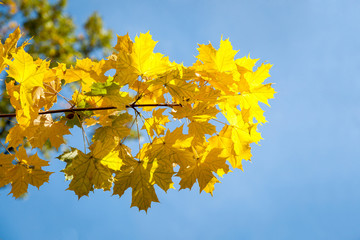 yellow maple leaves, autumn park, golden Autumn time, the yellow