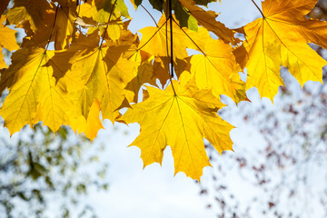 yellow maple leaves, autumn park, golden Autumn time, the yellow