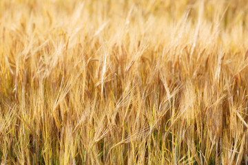 Closeup of wheat field