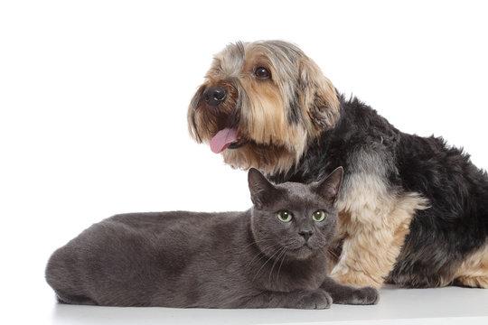 chien Yorkshire et chat chartreux