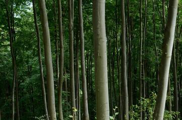 Primeval beech forest of Carpathians, Western Ukraine,unesco