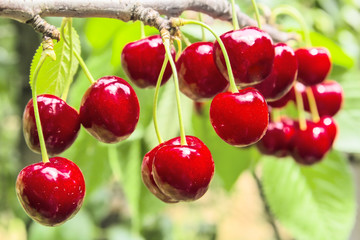 Sweet cherry berries on a tree branch close-up