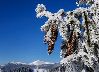 Pine branch under snow with fir-cone