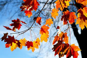 Herbst, Herbstlaub auf der Wiese, Ahornblätter am Baum