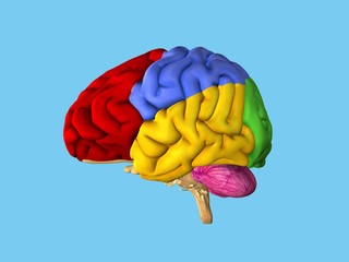 Regions of the brain: Side view featuring frontal lobe (red), parietal lobe (blue), occipital lobe