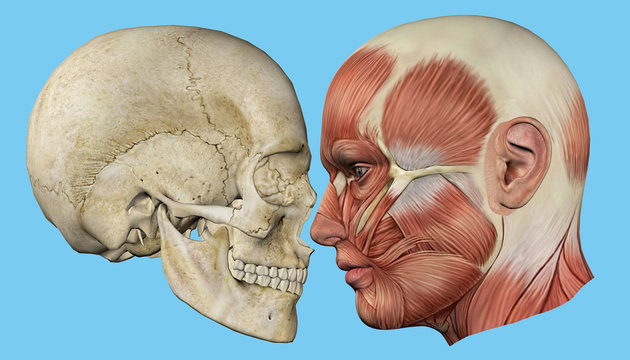 Skull and Muscles Profile: Featuring mandible, occipital bone, coronal suture, maxilla and zygomatic bone, temporalis muscle, masseter muscle, orbicularis oculi muscle and zygomaticus major muscle.