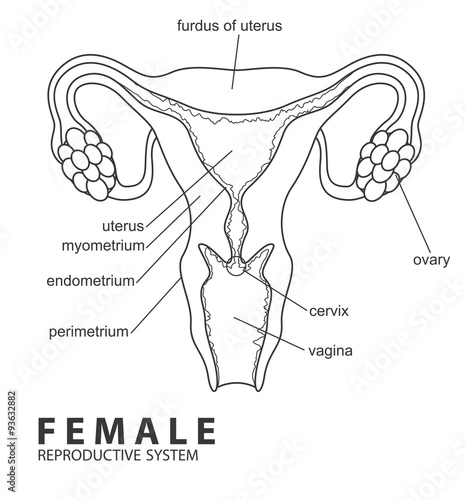 u0026quot female reproductive system u0026quot  stock image and royalty