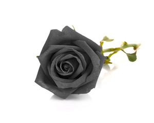 Black rose isolated on white background