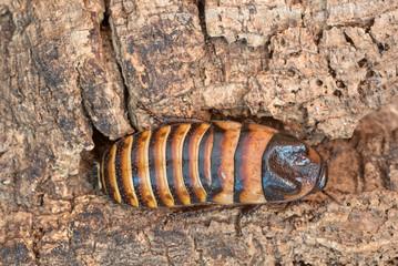 Madagaskar-Fauchschabe (Gromphadorhina, spec,)