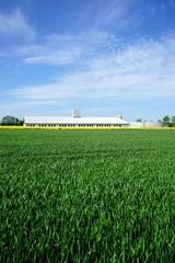 Getreidefeld mit  Schweinemaststall und Güllelager im Hintergrund