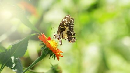 Butterfly on Zinnia flower