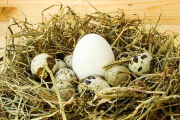 Chicken egg among quail eggs