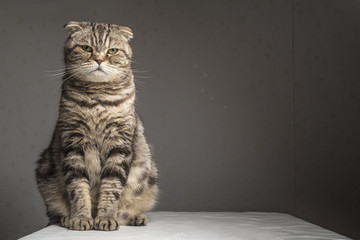 Pregnant thick gray striped scottish fold cat sitting on a table covered with a white cloth and looking at the camera