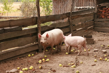 Two pigs in traditional farm
