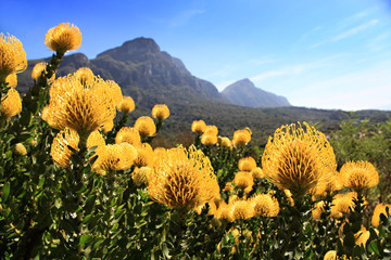 Yellow and red pincushion, proteas, Cape Town.