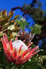 Protea, Kirstenboch Botanical Garden, Cape Town
