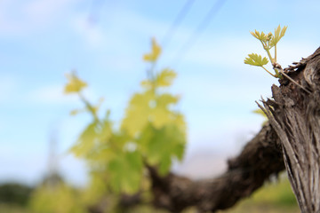 Vineyards making new leaves. New season.