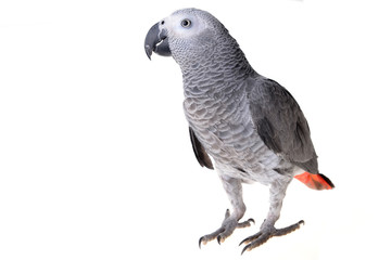 Fond de hotte en verre imprimé Perroquets african gray parrot
