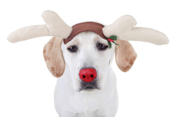 Funny Christmas Rudolph Dog Dressed as Red Nose Reindeer
