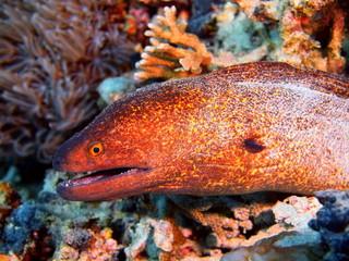 Moray eel, Island Bali
